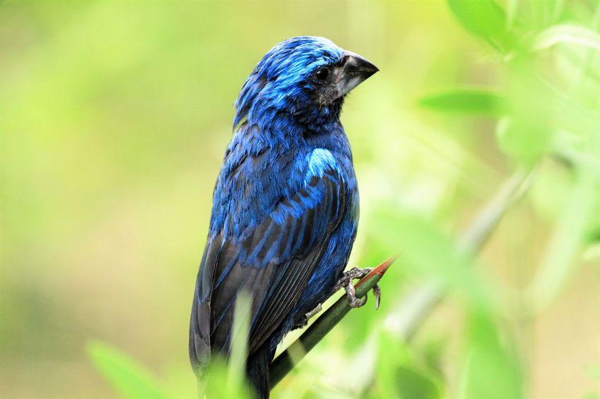This blue bird is sitting on a plant Animal Themes Bird Blue Bird Close Up No People One Animal Wildlife