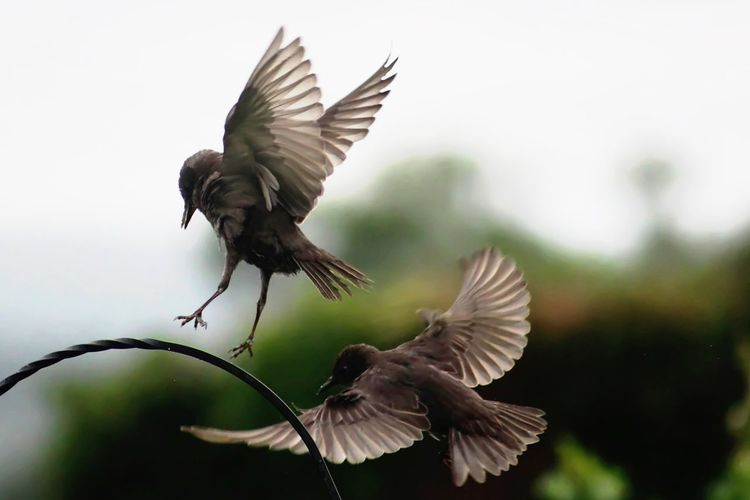 Animals In The Wild Bird Coming Into Land Flapping Flying Mid-air Motion Spread Wings Starlings