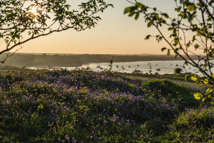 A view over Studland bay through the trees on the Purbecks in Dorset at sunset Studland Bay Plant Beauty In Nature Growth Flower Flowering Plant Purple Sky Nature Land Tree Scenics - Nature Tranquility Tranquil Scene Field Water Vulnerability  Lavender Sunset Focus On Foreground Fragility Outdoors Dorset Purbecks British