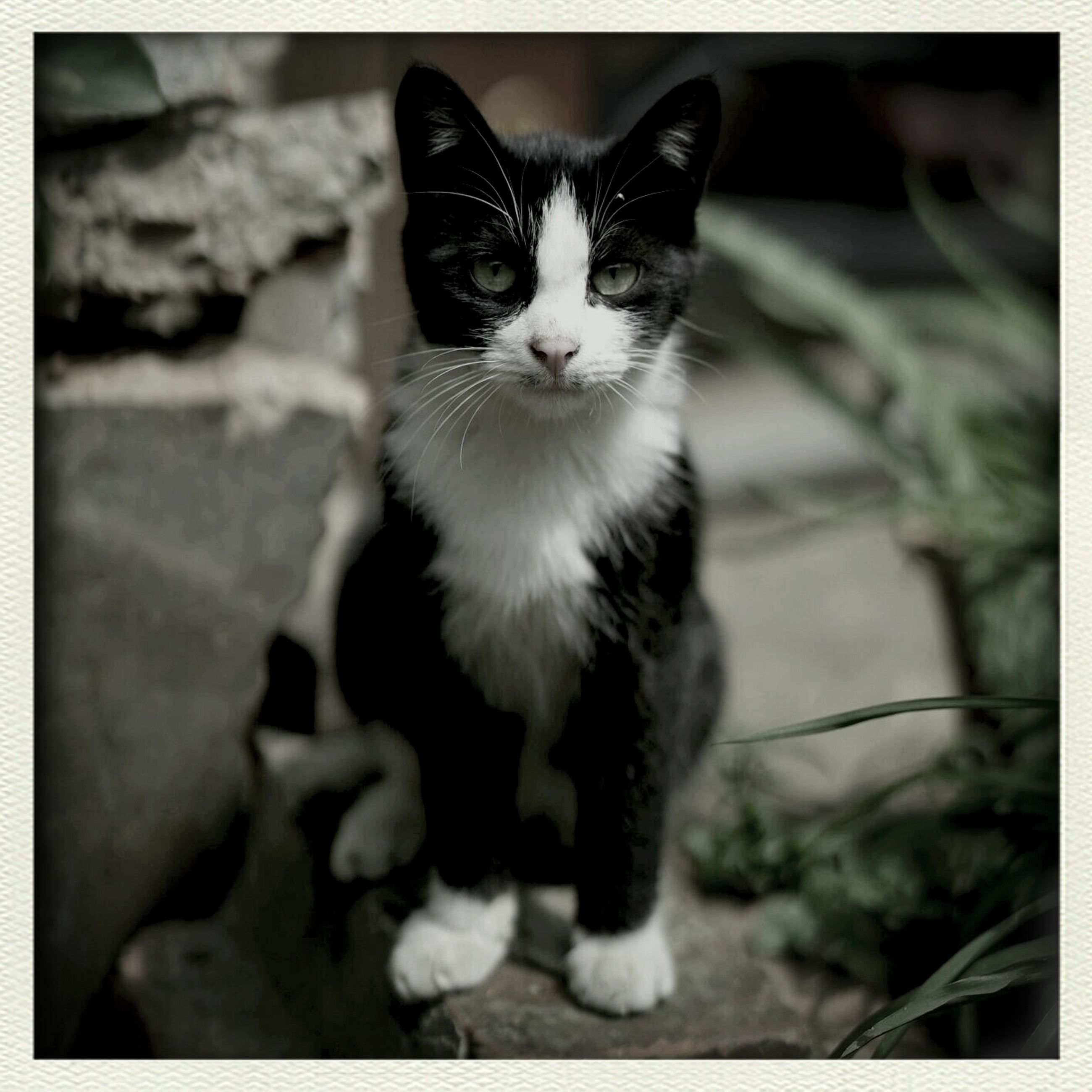 transfer print, domestic cat, animal themes, one animal, pets, cat, domestic animals, feline, auto post production filter, portrait, looking at camera, mammal, sitting, whisker, focus on foreground, close-up, front view, full length, alertness, white color