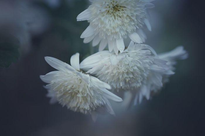 Chrysanthemum White Flowers Missing Someone Emptiness Flower Hometown Yard SONY A7ii Micronikkor105mmf2.8 Micronikkor 105mm Okayama Masako201712