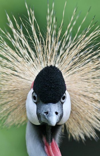 Portrait Of Grey Crowned Crane
