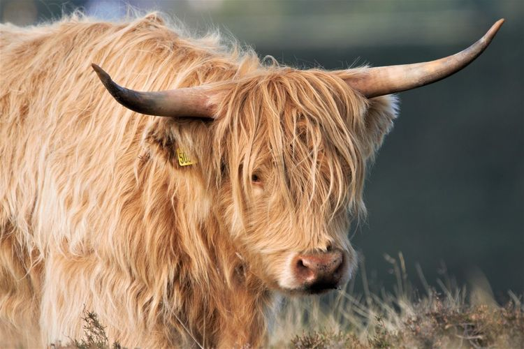 Highland cow looking away