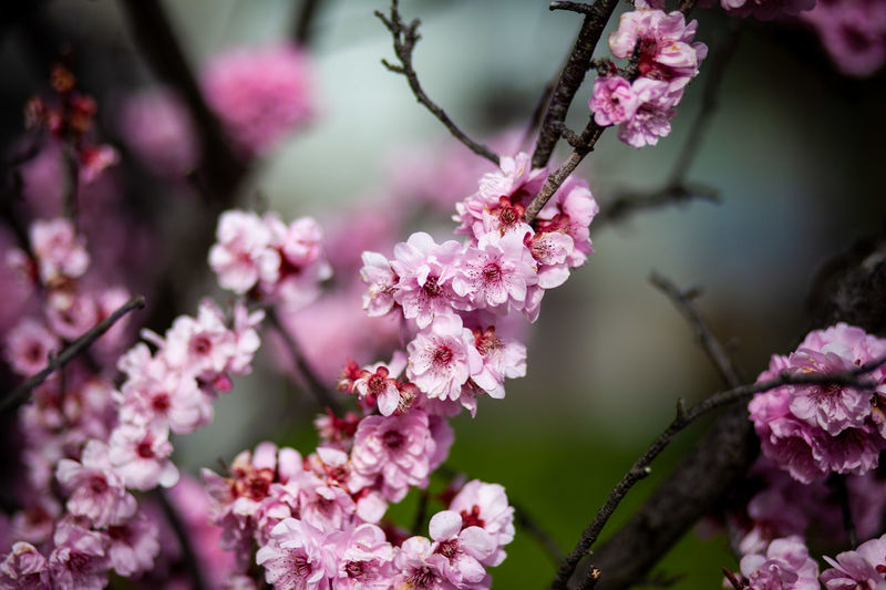 Beauty In Nature Blossom Cherry Blossom Cherry Tree Close-up Day Flower Flower Head Flowering Plant Focus On Foreground Fragility Freshness Growth Nature No People Outdoors Petal Pink Color Plant Purple Springtime Tree Vulnerability
