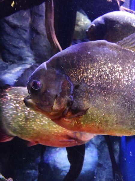 Colour Of Life Piranha Piranhas
