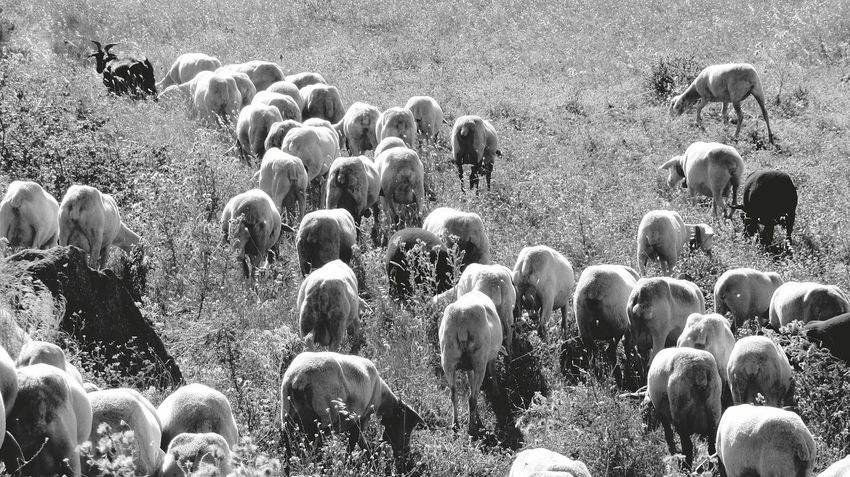 The Sheeps, Black and White... Eyeem Monochrome Love Black And White Black And White EyeEm Black&white! Sheeps. Taking Photos Taking Pictures