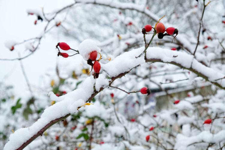 Close-up of frozen berries on tree during winter