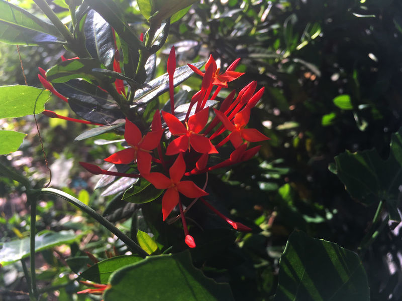 Beauty In Nature Flower Leaf Nature Red Red Flowers Spike Flower Thailand