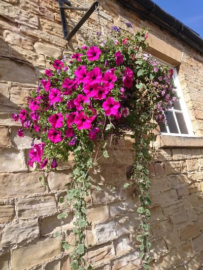 THE HANGING BASKET Renishaw Courtyard Hanging Basket Bricks Courtyard  Courtyard House Flowers Flowerporn Flower Collection Flower Photography Flowerlovers Flowerpower Brickstones Window Purple Pink Flowers