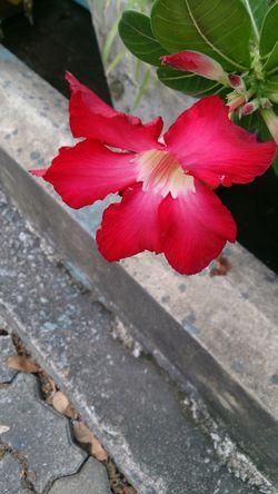 Desertrose Impala Lily Red Flower Alone Streetphotography Nature Beautiful Thailand Bangkok