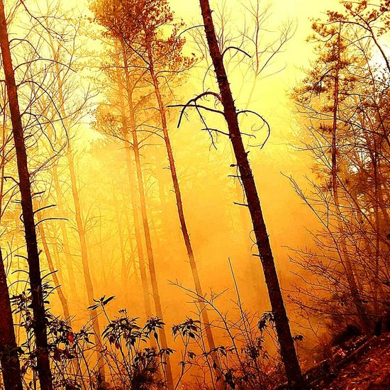 Tree Nature Sunset Pine Tree Forest Forest Fire Wildlandfirefighter