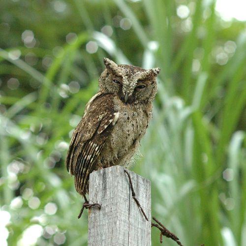 Owl Bird Animals Animal Wildlife Nikon D70 Micro NIKKOR 105mm F4