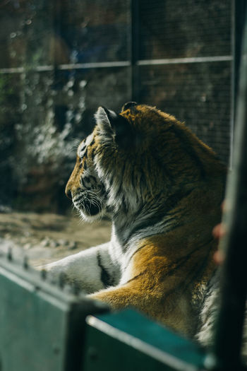 Camera - Canon 550D -Lens - 50 mm f/1.8 Blog : https://www.instagram.com/david_sarkisov_photography/ One Animal Animal Animal Themes Mammal Feline Cat No People Selective Focus Vertebrate Looking Relaxation Animals In Captivity Big Cat Day Pets Zoo Domestic Animals Whisker Looking Away Side View Mouth Open