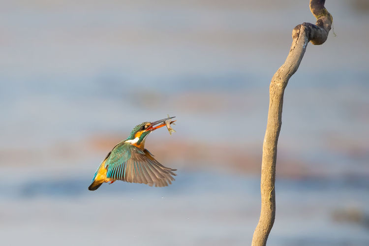 又逮一条 Bird Flying Spread Wings Water Motion Fishing Fish Blue Close-up Animal Themes