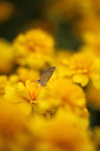 マリーゴールドの園 Tamron Lens Flowers Canon70d Canon