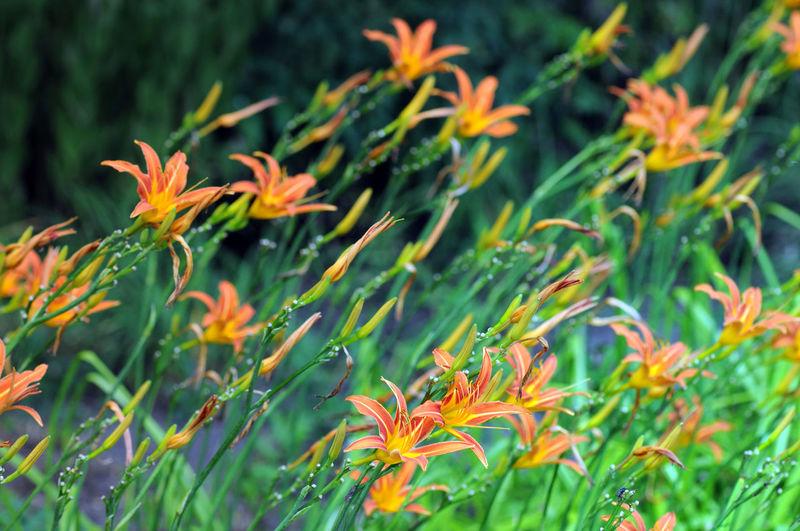 orange day lilith (Hemerocallis fulva). Day Flower Freshness Growth Lilie Lilies Lilies In Bloom Lilith Nature Orange Orange Color Orange Flower Plant