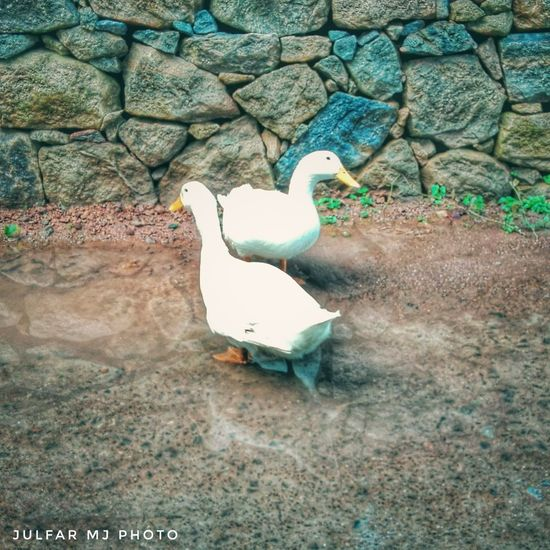 Pet Portraits Julfarmj Photooftheday Photo Photography One Animal Day Animal Themes No People Bird Outdoors Animals In The Wild Nature EyeEmNewHere The Week On EyeEm Picoftheday Scenics Picture Nature Petlover Ducks Duck Pet Photography  Pets Pet