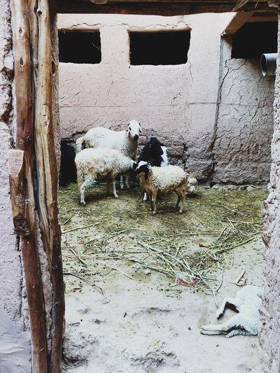 Live Animal Themes Domestic Animals Sheep Nature First Eyeem Photo EyeEm Birth&death