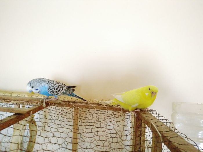 Animal Themes Animal Wildlife Animals In The Wild Bird Blue Blue Bird Blue Birds Blue Sky Budgerigar Budgie Cage Nature One Animal OnePlusX Perching Pets RBK Smartphonephotography Yellow