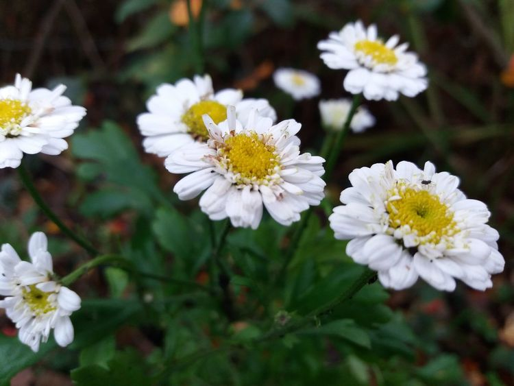 Flower White Color Beauty In Nature Nature Plant Flower Head Close-up Outdoors Fragility Freshness Growth No People Daisy Petal