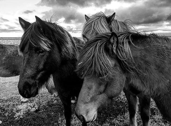 Kan ikke vær på Island uten kontakt med islandshest 🐴🐎 Fhsliv Pasvikfhs
