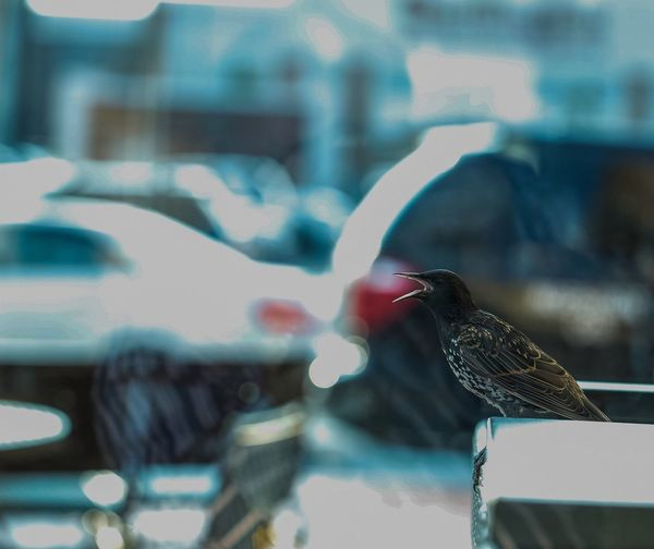 Starling yelling at the world. JGLowe Birds Wildlife Birds_collection Birds Of EyeEm  Minimmalist Birds