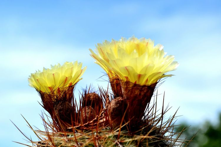 EyeEm Best Edits Eyeemnaturelover Flower Flower Head Blue Springtime Yellow Beauty Sky Close-up Plant Cactus Spiked Spiky Needle - Plant Part In Bloom