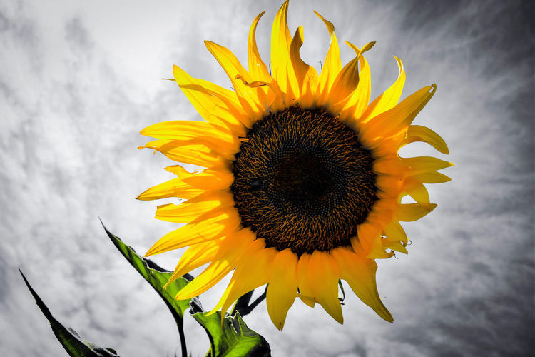 Flower Yellow Flowering Plant Freshness Flower Head Petal Plant Growth Beauty In Nature Sunflower Close-up No People Nature Outdoors Sunflowers Summer Sunflowers Field Yellowflower Photography Photographer