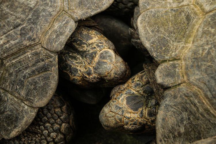 High Angle View Of Giant Tortoises