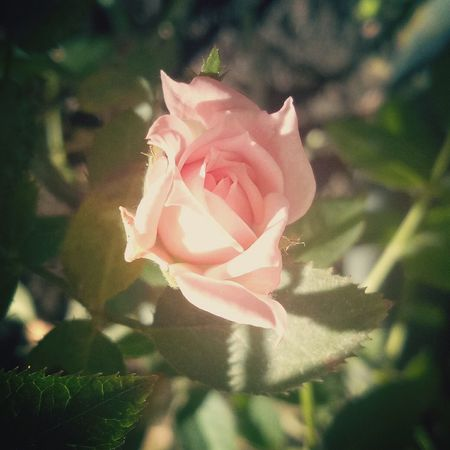 🌹🌹🌹 Flower Petal Rose - Flower Plant Flower Head Fragility Growth Beauty In Nature Nature No People Close-up Freshness Pink Color Plant Happiness