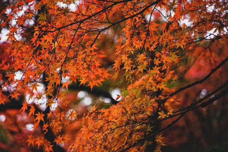 Autumn. Autumn Collection Tokyo Tokyo,Japan Autumn Leaves Japanese Garden Autumn Tree Orange Color Beauty In Nature Nature Plant Change Leaf Branch Plant Part Tranquility Tranquil Scene Autumn Collection