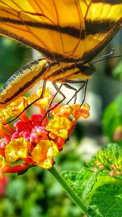 Macro_collection Macro Photography Macro Beauty Macro Nature Tiger Swallowtail Butterfly Tiger Swallowtail EyeEm Nature Lover EyeEm Best Shots Home Is Where The Art Is Butterfly Collection Hello World Insects Of The World Insects Beautiful Nature Eye For Photography Pollinators Delicate Delicate Beauty Insect Photography Colour Of Life Coloursplash Colours Of Nature Translucent Up Close Tigerswallowtail Color Palette
