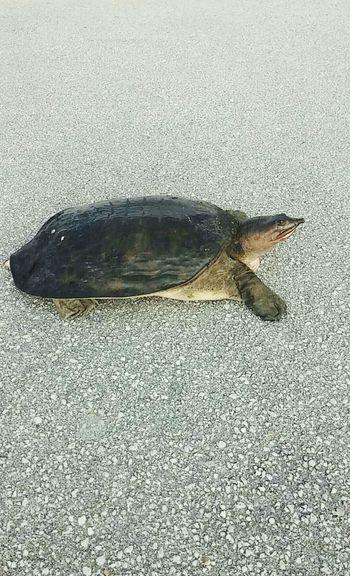 Turtle Turtle Crossing Turtle Love Life