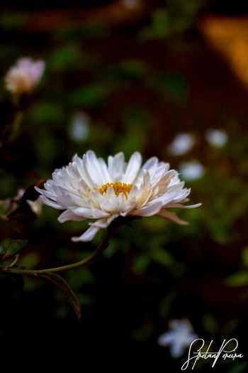 Flower Petal White Color Flower Head Fragility Nature Beauty In Nature Freshness Plant Day Outdoors Blooming Close-up