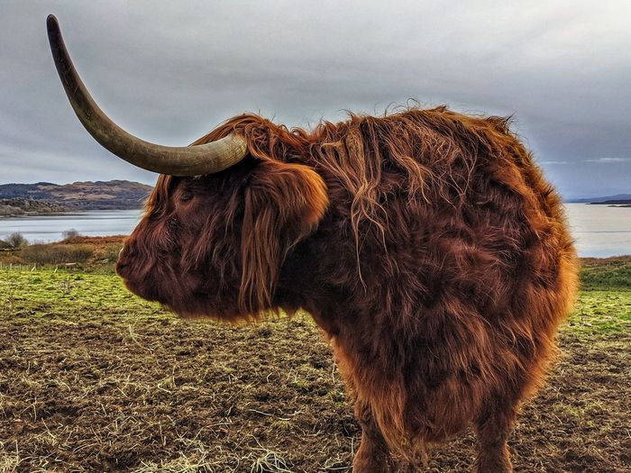 Scottish highland cattle at the shore of oban.