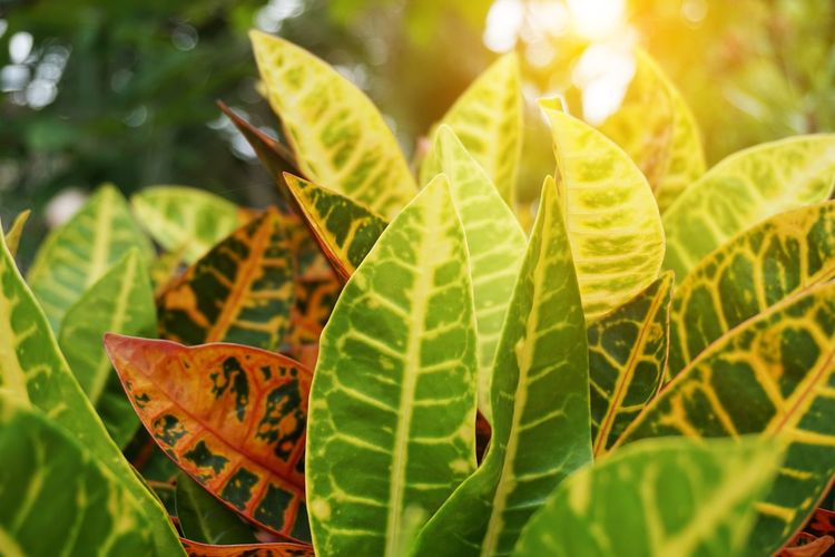 Codiaeum Variegatium Croton Garden Croton Beauty In Nature Close-up Day Focus On Foreground Freshness Green Color Growth Leaf Leaf Vein Leaves Natural Pattern Nature No People Outdoors Plant Plant Part Selective Focus Sunlight Tranquility Variegated Laurel Vulnerability