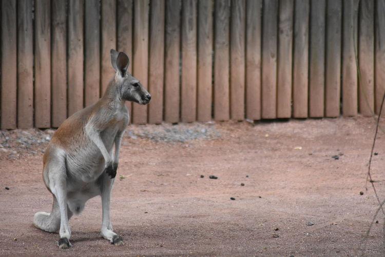 Zoo Animals  Zoology Animal Animals Kangaroo Australia Zoo Dresden EyeEm Selects Standing Animal Themes South Australia Australian Culture Zoo Adult Animal Wild Animal