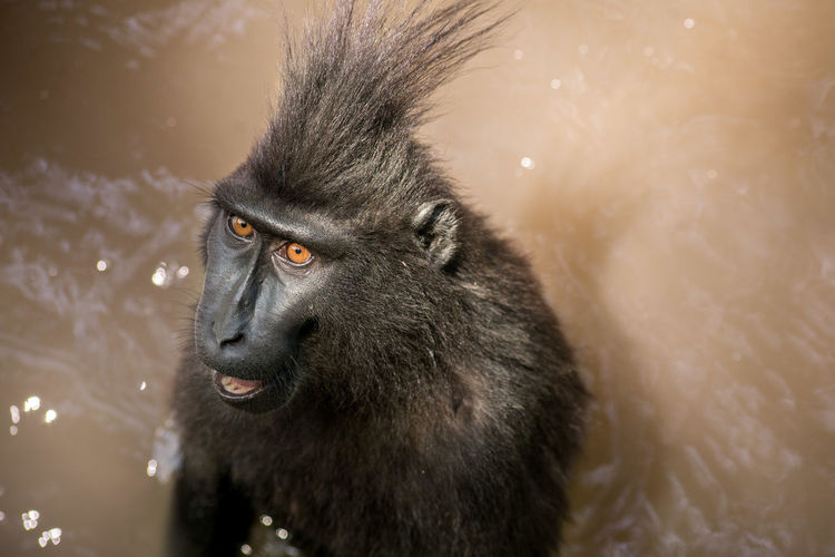 Close-up of baboon in water