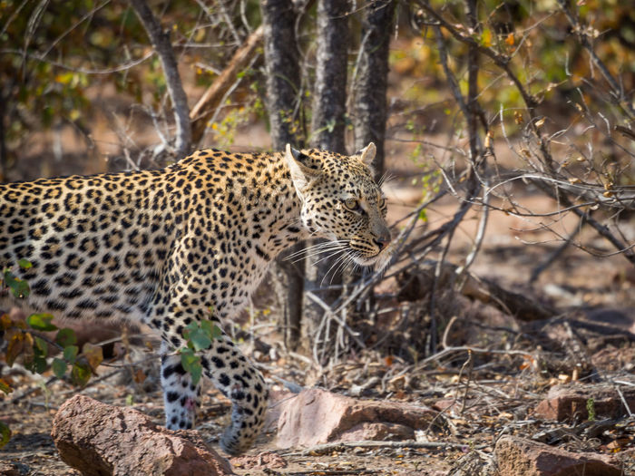 Leopard at water hole in kruger national park, south africa
