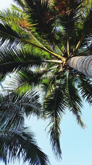 Palm tree (samsung s6 shot) Low Angle View Palm Tree Tree Growth Tree Trunk Scenics Branch Leaf Green Color Tranquility Beauty In Nature Tranquil Scene Nature Sky Tall - High Clear Sky Blue Day Palm Leaf Outdoors