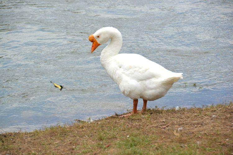 Chinese goose at lakeshore