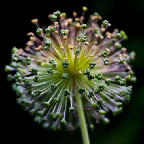 Close-up of allium