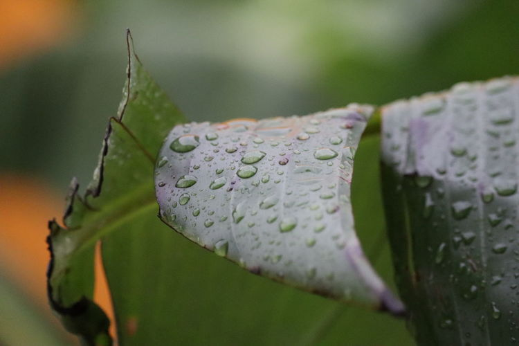Water drops on a green banana leaf, highly detailed close-up shot