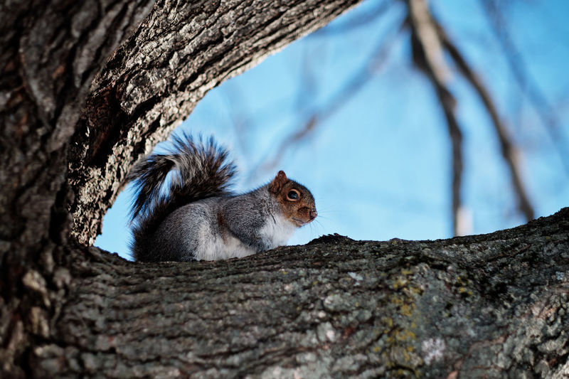 Squirrel in Parc Jacques-Cartier, Sherbrooke, Québec, Canada Animal Tree Rodent One Animal Trunk Tree Trunk Squirrel No People Nature Outdoors Olney FUJIFILM X-T2 2018 écureuil Arbre Sherbrooke QC Canada