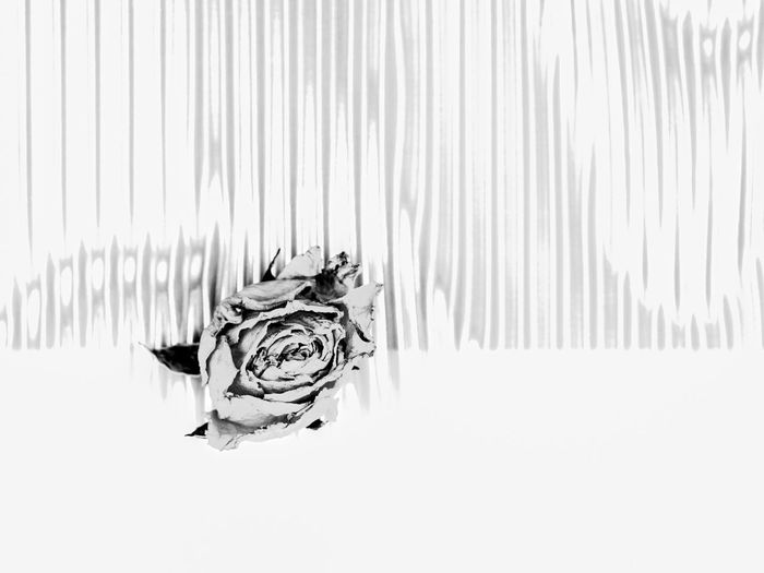rose Art And Craft Copy Space Day Domestic Flower Head Fragile Beauty Indoors  Metal Minimalism No People Paper Pattern Rose - Flower White Background White Color