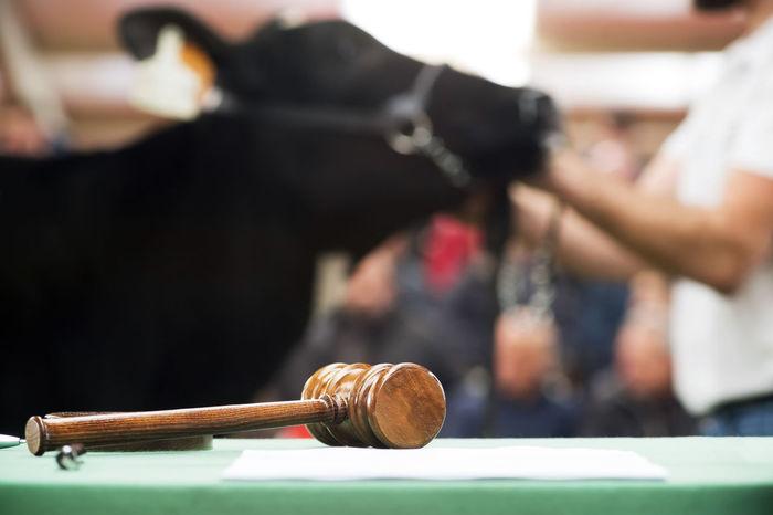 cattle in sale , cows calves auction A Coruña Auction BEATS Breed Galicia Galicia Calidade Galicia, Spain Livestock Breeder Cows Calves Cattle Cattle In Sale Cattledog Cattlefarm Cows Cows Auction Friesian Mammal Mammals Ranchera Swiss Cow