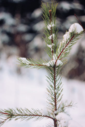 Winter forest pine branches in snow close up background Plant Growth Focus On Foreground Nature Close-up Tree Pine Tree Day No People Beauty In Nature Coniferous Tree Needle - Plant Part Green Color Outdoors Selective Focus Leaf Tranquility Plant Part Cold Temperature Winter Fir Tree