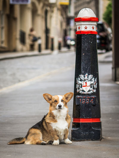 Corgi sitting in the streets of London next to a landmark London Animal Animal Themes Black And Red Building Exterior City Corgi Dog Domestic Domestic Animals Focus On Foreground One Animal Outdoors Pets Streetphotography