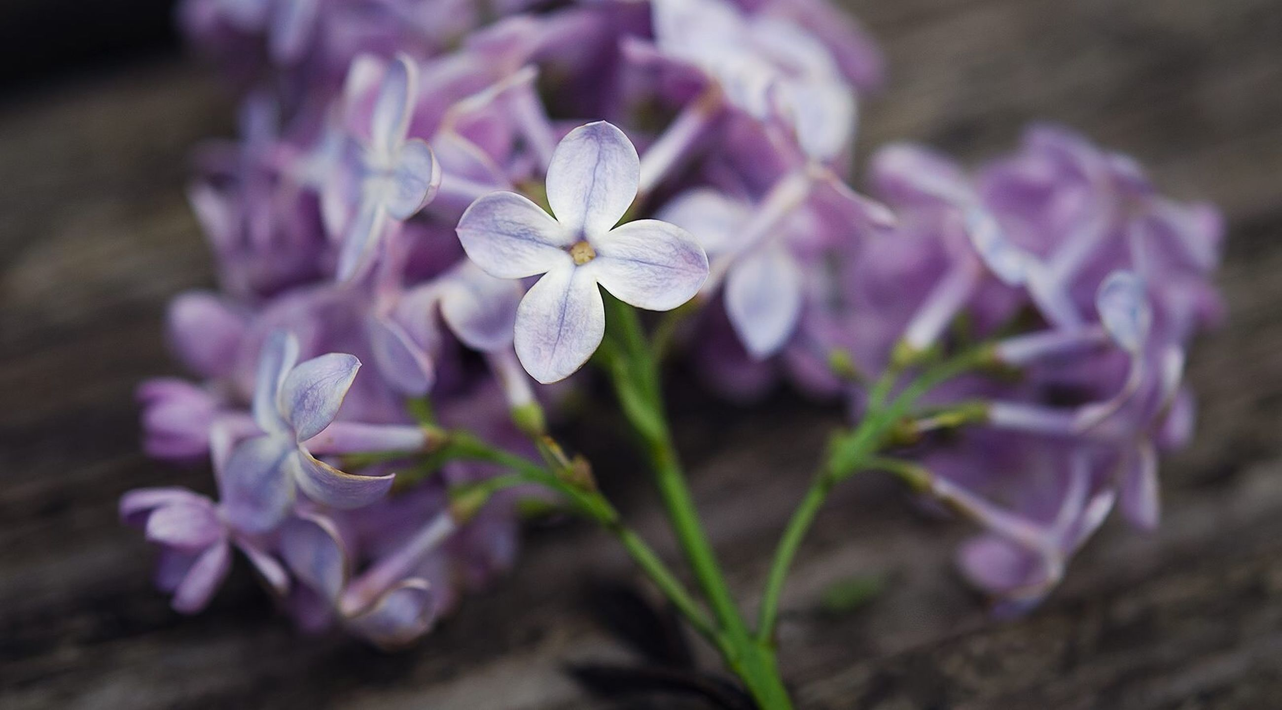 flower, freshness, fragility, growth, petal, close-up, focus on foreground, flower head, beauty in nature, plant, nature, purple, blooming, selective focus, in bloom, botany, blossom, stem, day, no people