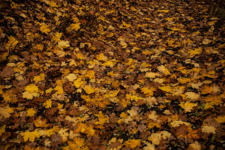 Autumn Yellow Plant Part Leaf Full Frame Nature Beauty In Nature High Angle View Change Backgrounds No People Abundance Day Flower Close-up Dry Plant Leaves Fragility Vulnerability  Natural Condition Outdoors Maple Leaf Autumn Collection